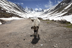 Dog on dirt road in spring mountains Royalty Free Stock Image