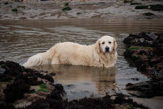 Dog in dirty water Royalty Free Stock Image