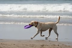 Dog and disc royalty free stock images