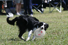 Dog and Disc. Dog performing outdoors in a statewide flying disc competition Stock Photo