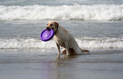 Dog with disc. In the mouth Stock Images