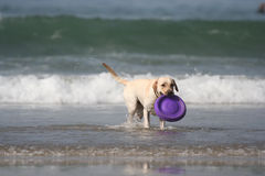 Dog with disc. In the sea Royalty Free Stock Photos