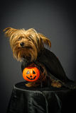 Dog in disguise for Halloween. Portrait of dog in disguise for Halloween Stock Images