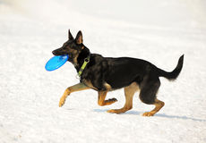 Dog with disk Royalty Free Stock Photo