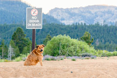 Dog Disobeys No Dogs Allowed Sign Stock Image