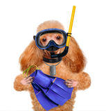 Dog diver. Royalty Free Stock Photography