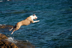 Dog that dives Stock Photos