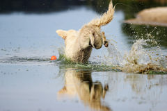 Dog dives. On the beach Stock Images