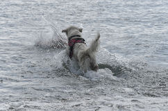 Dog dives into the sea to save someone Royalty Free Stock Photo