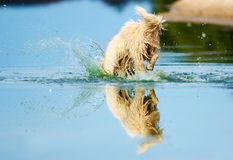 Dog dives. Into the water Royalty Free Stock Images