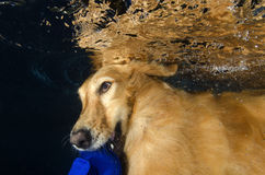 The dog diving and bite the ball in the pool, underwater view. Royalty Free Stock Photos