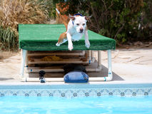 Dog diving off of a dock into the pool Royalty Free Stock Images