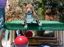 Dog diving off of a dock into the pool for the toy Stock Photography