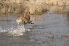 Dog diving into the water to fetch a ball stock images