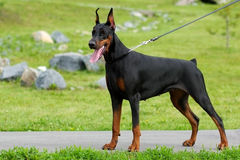 The dog is a Doberman Pinscher stands. The Doberman Pinscher dog stands in the summer on a leash stock images