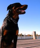 Dog on Docks. Young female rottweiler dog posing on the river docks Royalty Free Stock Photo