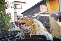 Dog dodge before water stream from garden hosepipe. When is leaning against barrel Stock Image