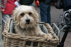Dog, Dog In Bicycle Basket, Cute Royalty Free Stock Photos