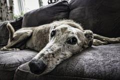 Dog, Dog Breed, Black And White, Dog Like Mammal Stock Images