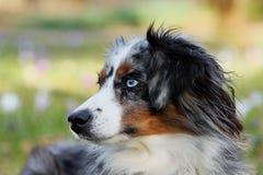 Dog, Dog Breed, Dog Like Mammal, Australian Shepherd Stock Photos
