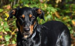 Dog, Dog Breed, Dog Like Mammal, Austrian Black And Tan Hound Royalty Free Stock Images