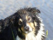 Dog, Dog Breed, Dog Like Mammal, Dog Breed Group Stock Images