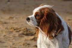 Dog, Dog Breed, Dog Like Mammal, King Charles Spaniel Royalty Free Stock Photos