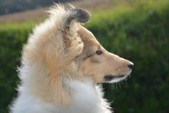 Dog, Dog Breed, Dog Like Mammal, Rough Collie