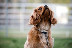 Dog, Dog Breed, Dog Like Mammal, Snout royalty free stock photography