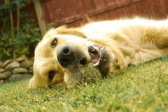 Dog, Dog Breed, Golden Retriever, Dog Breed Group royalty free stock photos