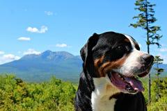 Dog, Dog Breed, Greater Swiss Mountain Dog, Dog Like Mammal