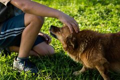 Dog, Dog Breed Group, Dog Like Mammal, Grass stock image