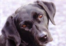 Dog, Dog Breed, Labrador Retriever, Dog Like Mammal stock image