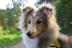 Dog, Dog Breed, Rough Collie, Scotch Collie