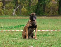Dog. In the classroom for protection, protective guard duty, IPO Royalty Free Stock Images
