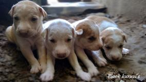Dog. The dog in India born 4 dog in a click Tamil royalty free stock photo