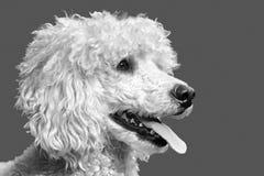 Dog, Dog Like Mammal, Black And White, Dog Breed Stock Images
