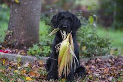 Dog, Dog Like Mammal, Dog Breed, Boykin Spaniel
