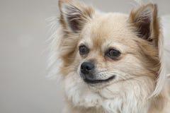 Dog, Dog Like Mammal, Dog Breed, Dog Breed Group Royalty Free Stock Photo