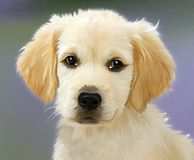 Dog, Dog Like Mammal, Dog Breed, Golden Retriever stock photo