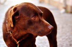 Dog, Dog Like Mammal, Dog Breed, Labrador Retriever royalty free stock photos