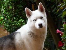 Dog, Dog Like Mammal, Dog Breed, Siberian Husky Stock Photo