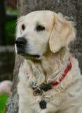 Dog, Dog Like Mammal, Golden Retriever, Dog Breed Royalty Free Stock Photography