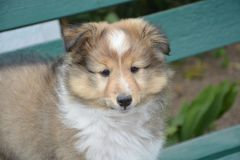 Dog, Dog Like Mammal, Rough Collie, Dog Breed