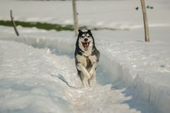 Dog, Dog Like Mammal, Siberian Husky, Snow stock photo