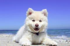 Dog, Dog Like Mammal, Volpino Italiano, Dog Breed Royalty Free Stock Photography