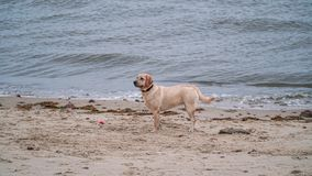 Dog. Playing with owner at the sea on the Northsea coast in Germany, Cuxhaven Royalty Free Stock Photo