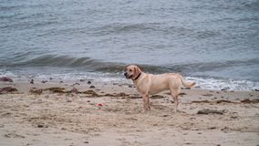 Dog. Playing with owner at the sea on the Northsea coast in Germany, Cuxhaven Royalty Free Stock Image