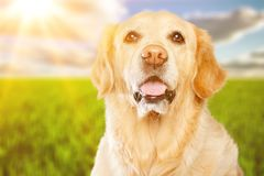 Dog. Sorry adopt adult animal attentive background Royalty Free Stock Photo