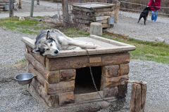 Dog on doghouse. An Alaskan sled dog resting on top of outdoor doghouse Royalty Free Stock Images